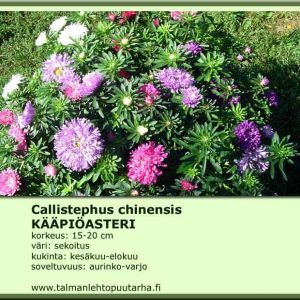 Callistephus chinensis 'Pot N'Patio' Kääpiöasteri