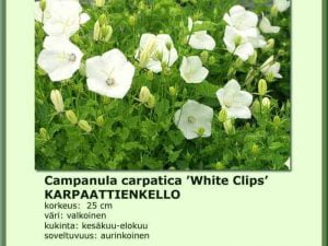 Campanula carpatica 'White Clips' Karpaattienkello