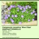 Campanula carpatica 'Blue Clips' Karpaattienkello