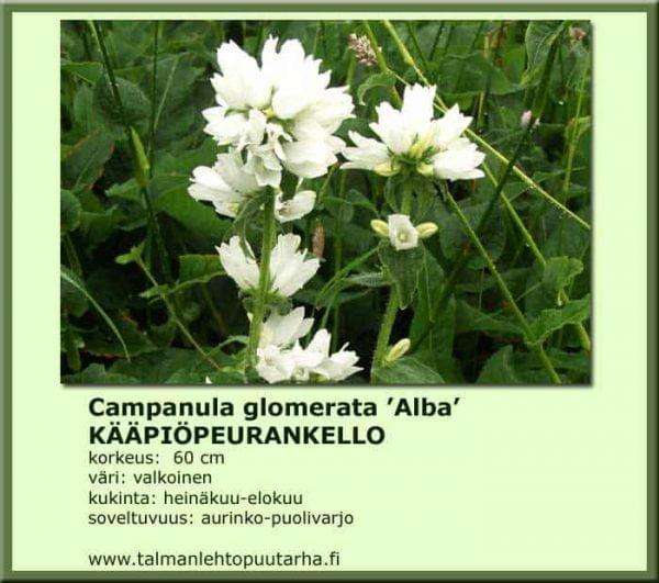Campanula glomerata 'Alba' Kääpiöpeurankello