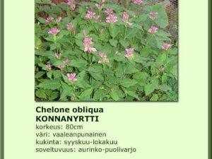 Chelone obliqua Konnanyrtti