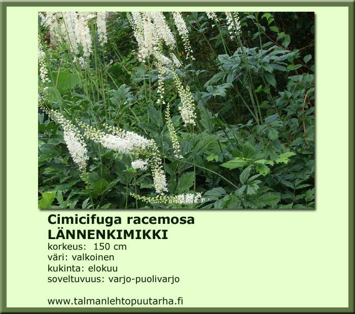 Actaea (Cimicifuga) racemosa Lännenkimikki