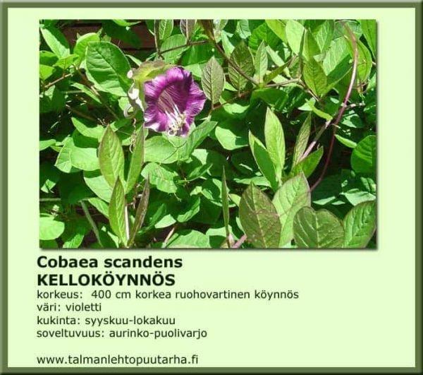 Cobaea scandens Kelloköynnös