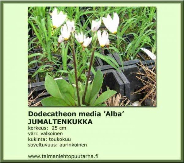 Dodecatheon media 'Alba' Jumaltenkukka