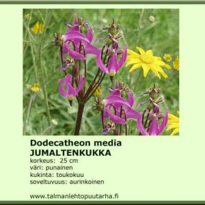 Dodecatheon media Jumaltenkukka