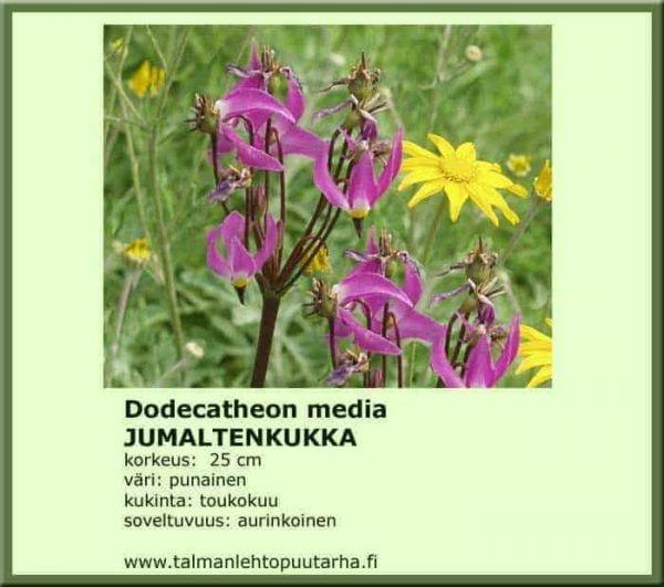 Dodecatheon media Jumaltenkukka