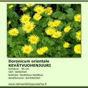 Doronicum orientale Kevätvuohenjuuri