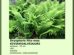 Dryopteris filimas 11cm ruukku Kivikkoalvejuuri