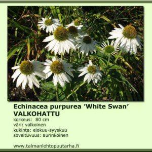 Echinacea purpurea 'White Swan' Valkohattu