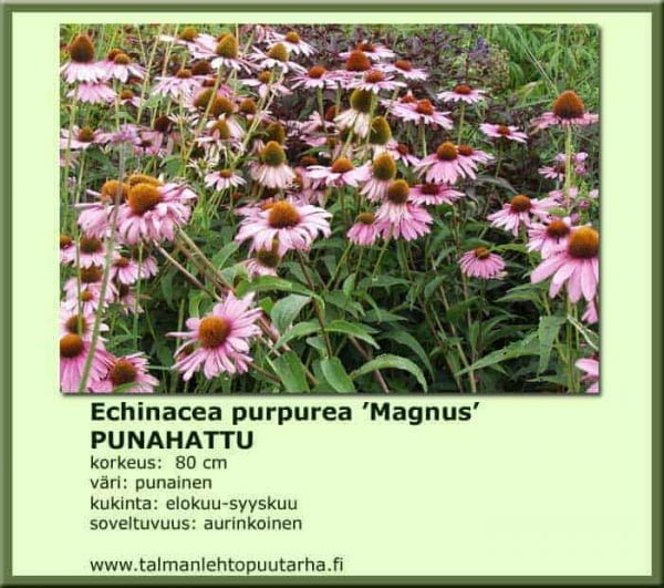Echinacea purpurea 'Magnus' Punahattu