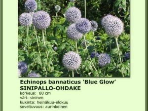 Echinops bannaticus 'Blue Glow' Sinipallo-ohdake