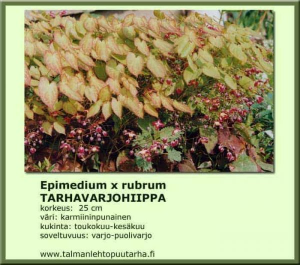 Epimedium x rubrum Tarhavarjohiippa
