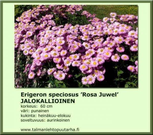 Erigeron speciosus 'Rosa Juwel' Jalokallioinen