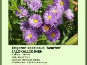 Erigeron speciosus 'Azurfee' Jalokallioinen