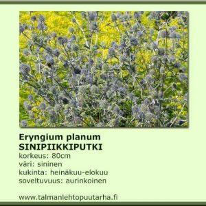 Eryngium planum sinipiikkiputki