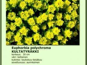 Euphorbia polychroma Kultatyräkki