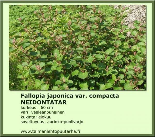Fallopia japonica var. compacta Neidontatar