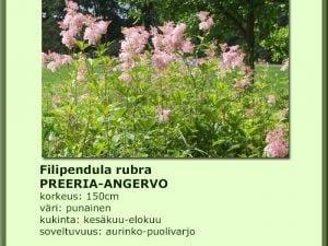 Filipendula rubra Preeria-angervo