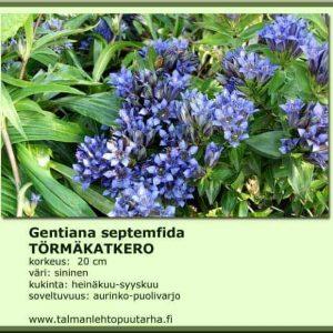 Gentiana septemfida Törmäkatkero