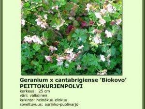 Geranium cantabrigiense 'Biokovo'Peittokurjenpolvi