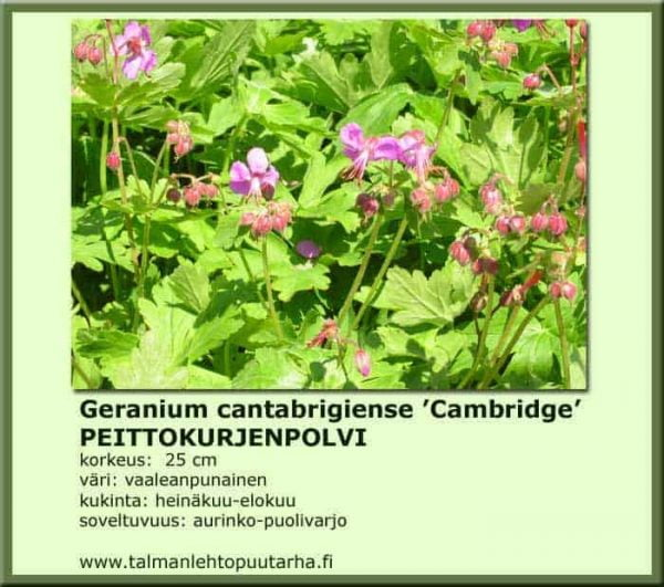 Geranium cantabrigiense 'Cambridge' Peittokurjenpolvi