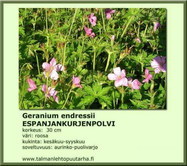 Geranium endersii Espanjankurjenpolvi