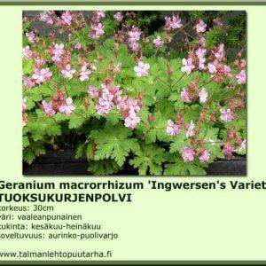 Geranium macr. 'Ingwersen's Variety' Tuoksukurjenpolvi
