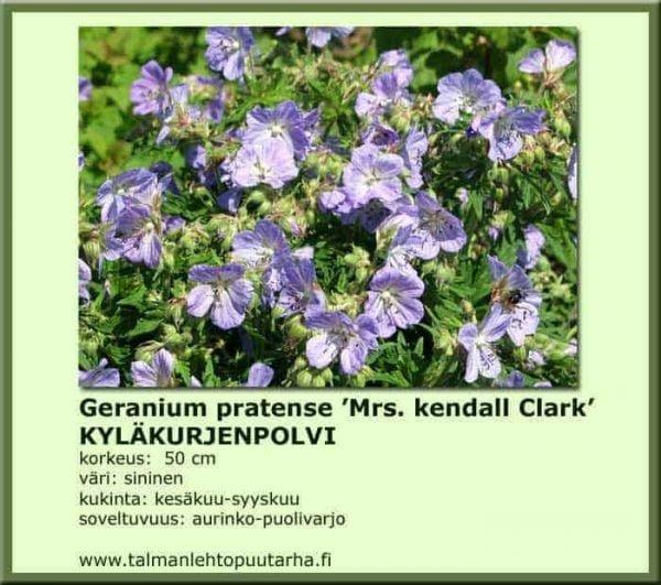 Geranium pratense 'Mrs. Kendall Clark' Kyläkurjenpolvi