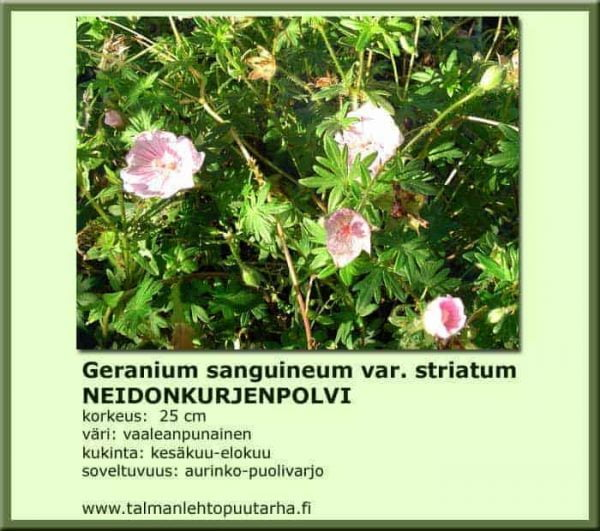 Geranium sanguineum var. striatum Neidonkurjenpolvi