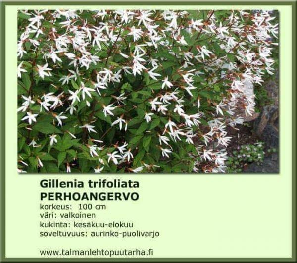 gillenia trifoliata perhoangervo