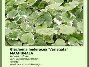 Glechoma hederacea 'Variegata' Maahumala