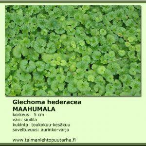 Glechoma hederacea Maahumala