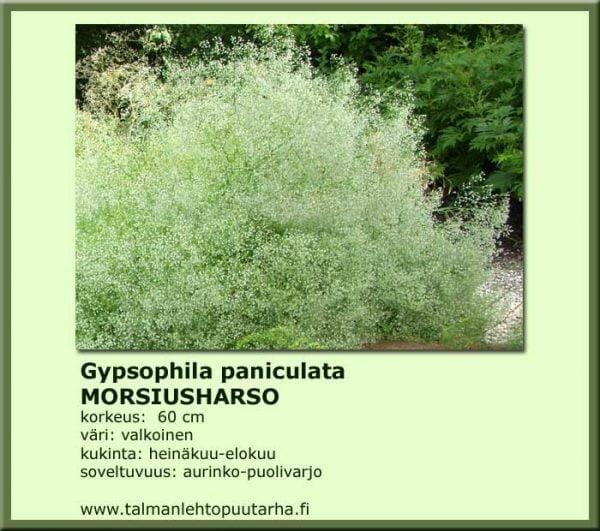 Gypsophila paniculata Morsiusharso
