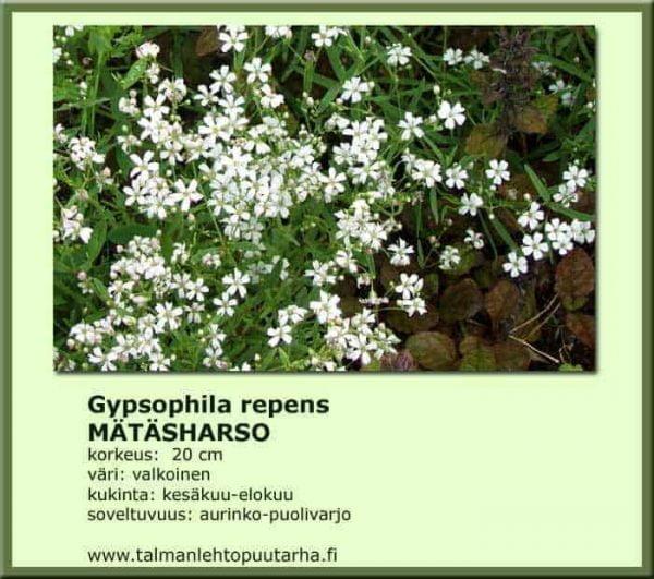 Gypsophila repens Mätäharso