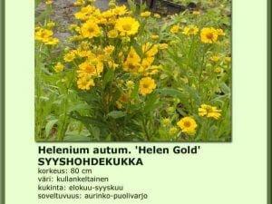 Helenium autumnale 'Helen Gold' Syyshohdekukka