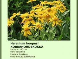 Helenium hoopesii Koreahohdekukka