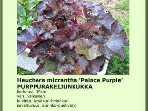 Heuchera micrantha 'Palace Purple' Purppurakeijunkukka