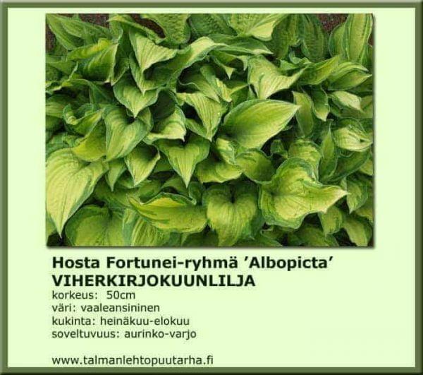 Hosta Fort.-Ryhmä 'Albopicta' Viherkirjokuunlilja