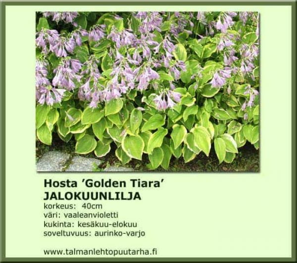 Hosta Nakaina-Ryhmä 'Golden Tiara' Jalokuunlilja