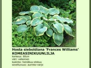 Hosta sieboldiana 'Frances Williams' Komeasinikuunlilja
