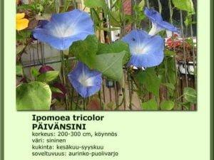 Ipomea tricolor 'Hevenly Blue' Päivänsini