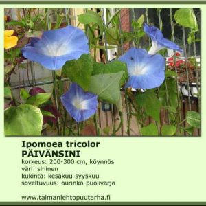 Ipomea tricolor 'Hevenly Blue' Päivänsini