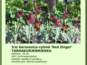 Iris Germanica-ryhmä 'Red Zinger' Tarhakurjenmiekka