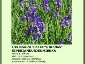 Iris sibirica 'Ceasar`s Brother' Siperiankurjenmiekka