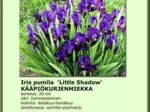 Iris pumila 'Little Shadow' Kääpiökurjenmiekka