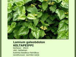Lamium galeobdolon 'Variegata' Keltapeippi