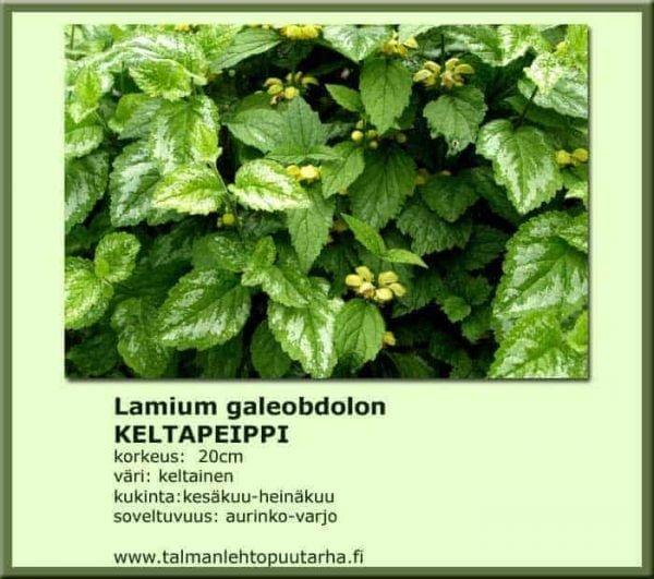 Lamium galeopdolon Keltapeippi