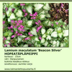 Lamium maculatum 'Beacon Silver' Hopeatäpläpeippi