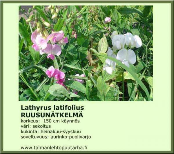 Lathyrus latifolius Ruusunätkelmä