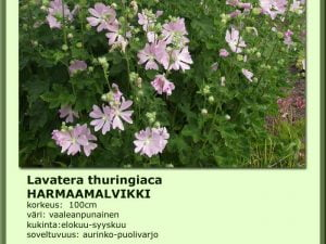 Lavatera thuringiaca Harmaamalvikki